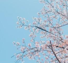 「春与樱花」