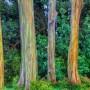 大自然的奇观:当树皮脱落时,这些奇异的桉树会
