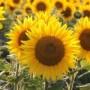 用9个简单的步骤画一朵向日葵